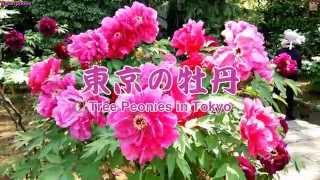 東京の牡丹(ボタン)- Tree Peonies in Tokyo (Botan)