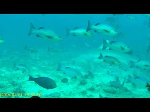 人食い鮫(イタチザメ)に囲まれた件【カット少な目】