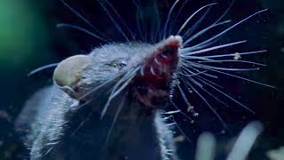 Ferocious Shrews Fight For Mating Rights | Life Of Mammals | BBC Earth