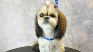 Grooming Guide - How to Groom a Shih Tzu with Top knot, short summer cut #5