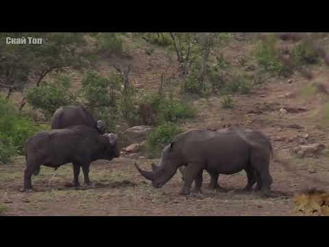 Смотреть НОСОРОГ В ДЕЛЕ! Носорог против слона, львов, буйвола онлайн