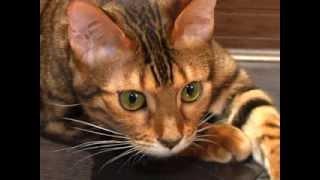 """СТК 10, """"Самое время утро"""" - """"Животные"""". Бенгальская кошка"""