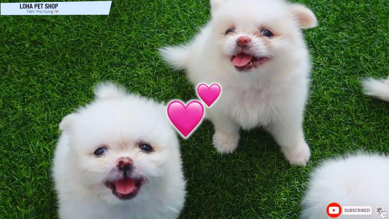LoHa Pet Shop Cute Pets for sale Pomeranian Puppies sold out