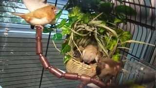 Птенцы японской амадины