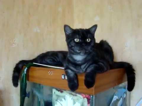 Продается британский котик черный дым