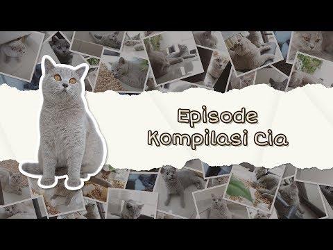 Cia Cat Diary - Ep 23 - Kompilasi Video Kucing British Yang Ceria