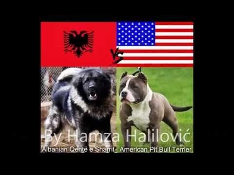 Albanian Sharplaninac -Vs- American Pitbull -Dog Fight ...