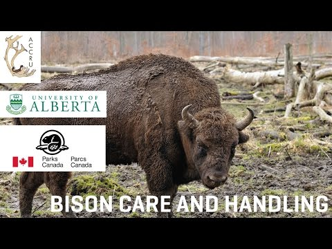 Bison Care and Handling