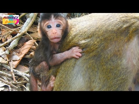 OMG! Why Fauna mom don't want newborn Flit milk like this|Pity baby Flit too small|Monkey Daily 883
