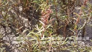 茄萣濕地植物系--裸花兼蓬(Suaeda nudiflora)-鹽定