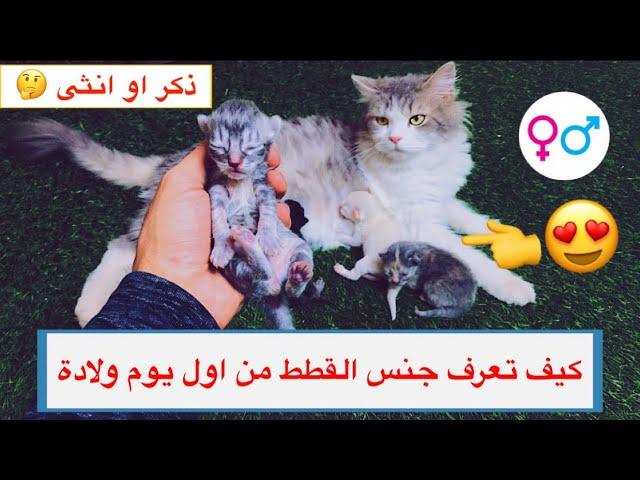 كيف نفرق بين الذكر و الانثى في القطط الصغيره و الكبيره Mohamed Vlog Youtube