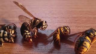 wasp-species-comparison-yellow-jackets-hornets-cicada-killers