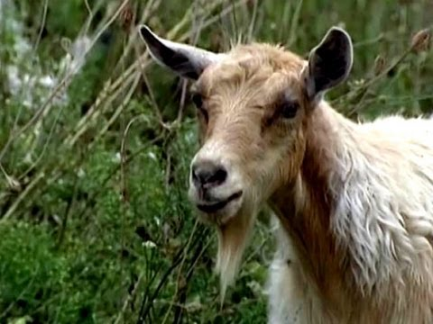 Detroit charter school borrows goats for organic agriculture project