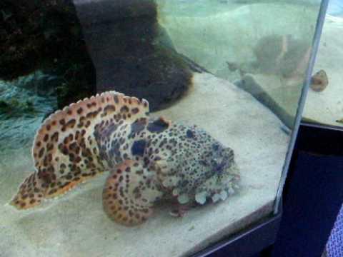 Orange Leopard Toadfish Feeding .AVI