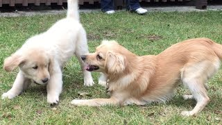 9-week Old Golden Retriever Puppy Plays With Mini Golden
