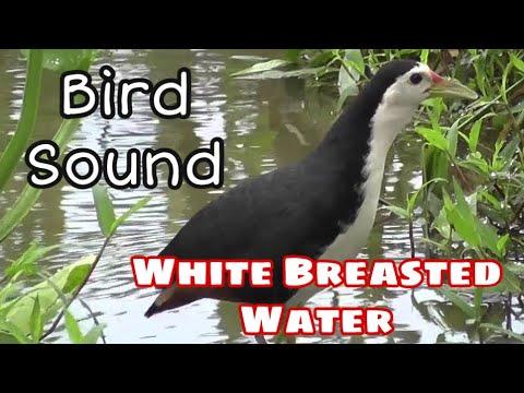 Download Suara pikat Ruak ruak - White Breasted Waterhen Bird Sound 2020