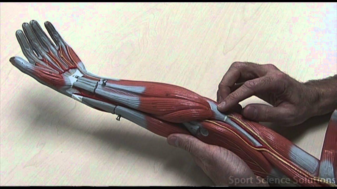 Origins of the Lower Arm Muscles - YouTube