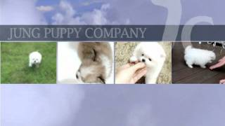 Teacup Puppy For Sale,teacup Maltese,chihuahua,shihtzu,pomeranian,yorshire......