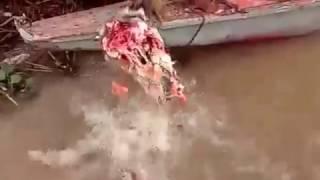 парень покормил кровожадных пираний свежим мясом