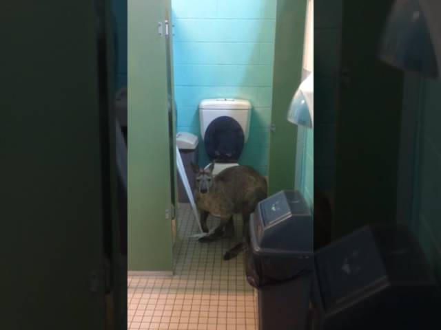 Kangaroo in toilet cubicle – unrolling and eating the toilet paper