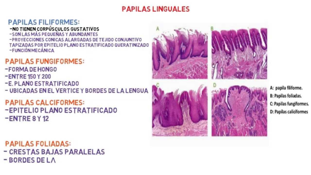 Histología: Lengua - Sistema digestivo. - YouTube