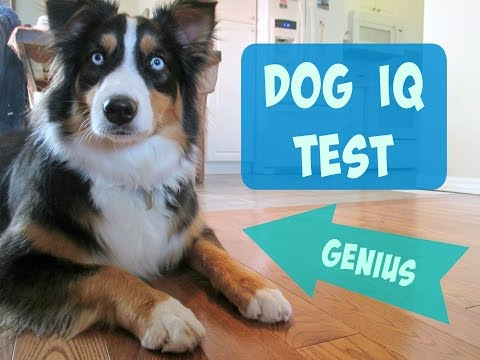 Testing my Australian Shepherd's Intelligence - Dog IQ Test