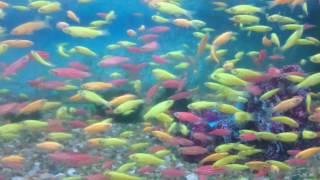 Светящиеся аквариумная рыбка Новое поступление только в зоомагазине Фауна(В продажу поступила аквариумная рыбка данио светящийся! Мы рады представить Вам GloFish® флуоресцентных рыб,..., 2016-12-05T16:07:19.000Z)