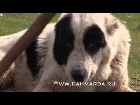 видео: Аборигенные САО и гиссарские овцы Таджикистана , Саги дахмарда и гиссарские овцы  Ромита и Варзоба