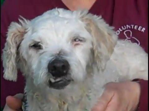 A5056573 Missy | Miniature Poodle/Bedlington Terrier