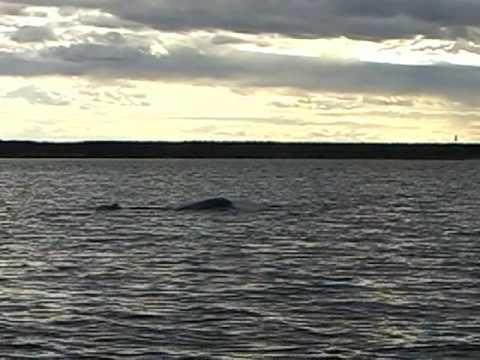 Belugas of Churchill - 2007