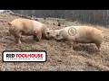 Ep 14: Get Paid to Raise Pigs on Your Homestead