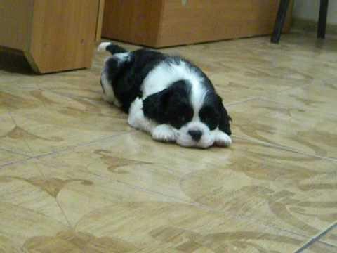 Щенок американского кокер-спаниеля черно-белого окраса 1,5 месяца