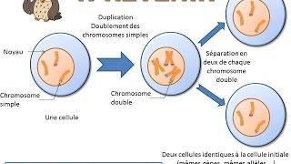 SVT - cours - La division cellulaire (la mitose)