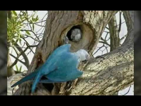 голубой ара 🐦 читайте описание