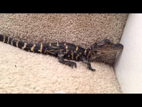 Baby alligator calling for mom. (Pet)