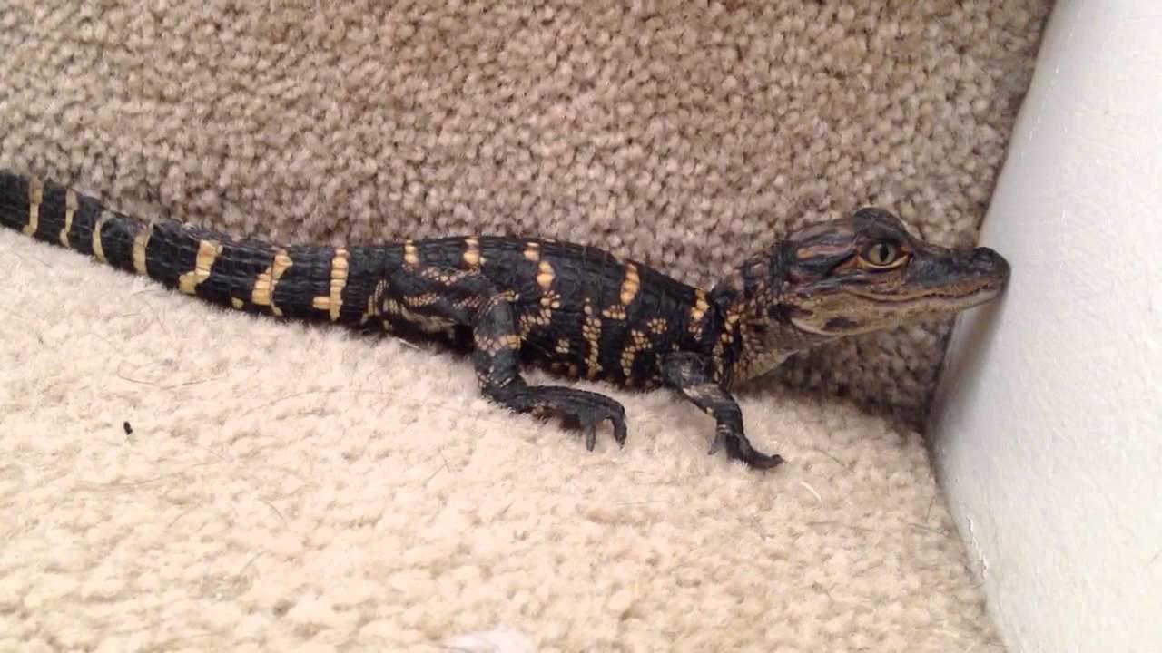 Baby Alligator Calling For Mom Pet Youtube