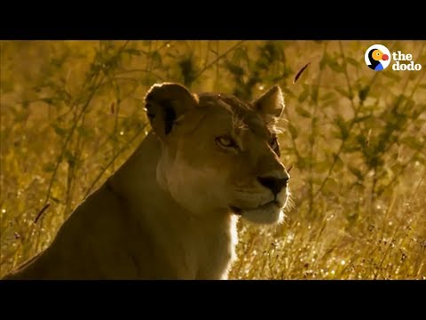 Watch This Lion Mom Stop At Nothing To Protect Her Cubs | The Dodo