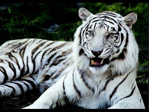 Gambar Harimau Putih 3d