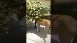 ESTADOUNIDENSE  DEFIENDE  ANIMAL DE LA REPUBLICA DOMINICANA - EQUINO - CABALLO