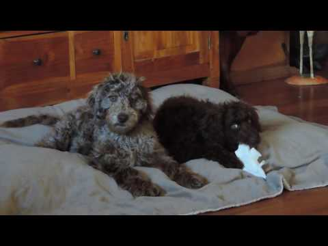 Older Australian Labradoodle Puppy