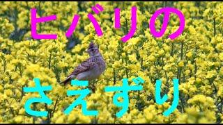 菜の花の上でさえずるヒバリ  4K😊