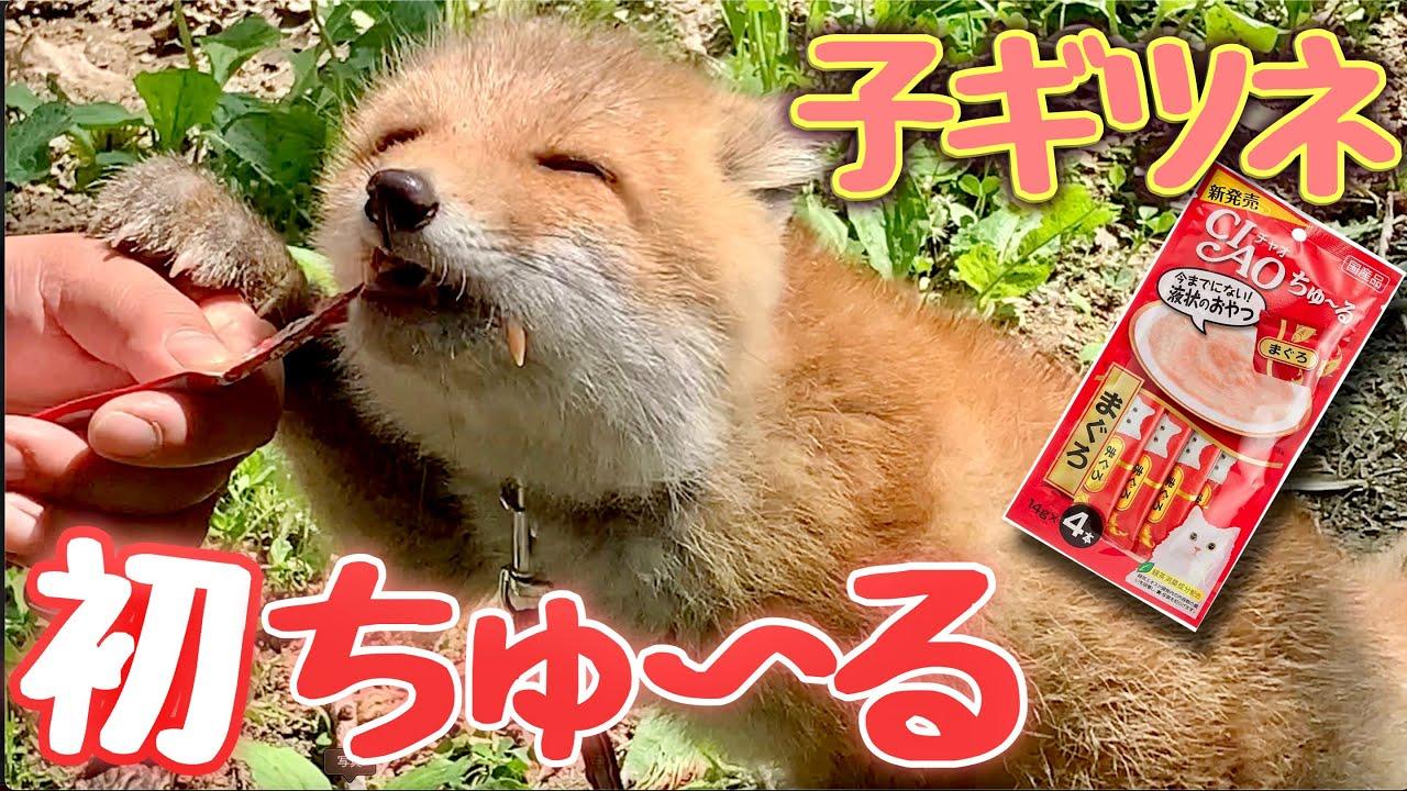 【子ギツネ】初めてのちゅ〜るに大興奮!ちゅ〜るを食べる顔が可愛すぎて悶絶😻