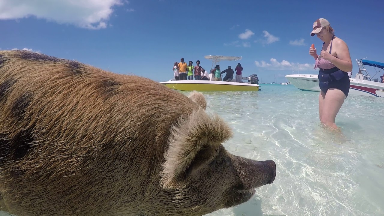 With The Pigs At Pig Beach Bahamas