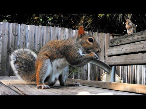 Gray Squirrel Male Dominance Behaviour