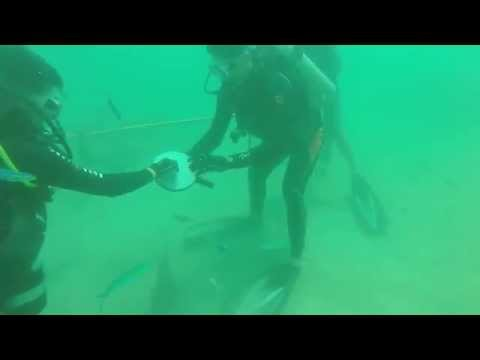 Feeding Shovelnose Rays in Subic, Philippines