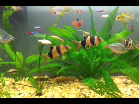 Tropical freshwater aquarium acuario pecera de peces for Peces de agua dulce fria