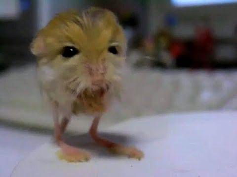 Baluchistan Pygmy Jerboa Baby