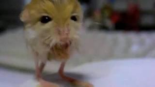 Pygmy Jerboa ...EXPLODING!!!