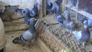 FRSC Urziceni dl Nicu Bizdrigheanu film prezentare pui porumbel 28 sept 2012 part 3