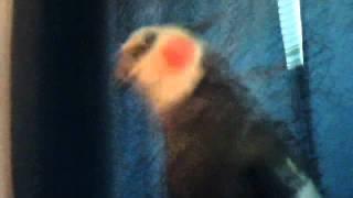 My cockatiel Thumbnail